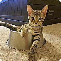 Adopt A Pet :: Gatsby - Glendale, AZ