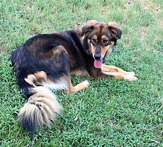 German Shepherd Dog Dog for adoption in Gilmer, Texas - Rebel