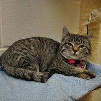 Adopt A Pet :: Cornbread - Jackson, WY