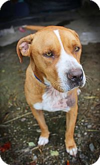 Boxer/Hound (Unknown Type) Mix Dog for adoption in Spring Valley, New York - Roth