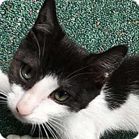 Adopt A Pet :: Kismet - N. Billerica, MA