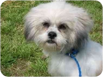 Shih Tzu Dog for adoption in McDonough, Georgia - Scarlet