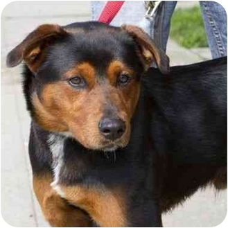 Rottweiler/Chow Chow Mix Dog for adoption in Berkeley, California - Harry