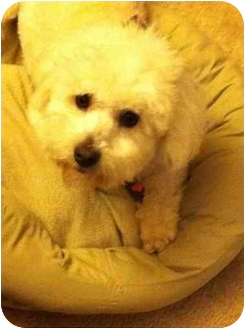 Bichon Frise Mix Dog for adoption in New Milford, Connecticut - JACQUES