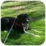 Photo 1 - Labrador Retriever/Border Collie Mix Dog for adoption in Wamego, Kansas - Ruckus