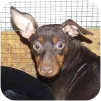 Miniature Pinscher Mix Dog for adoption in Coleraine, Minnesota - Cocoa