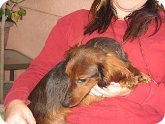 Dachshund Dog for adoption in Greenville, Rhode Island - Jager