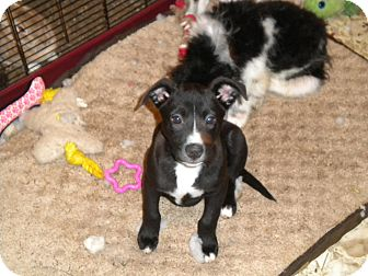 American Pit Bull Terrier/American Staffordshire Terrier Mix Puppy for adoption in Hazard, Kentucky - Sasha