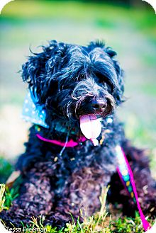 Poodle (Miniature)/Affenpinscher Mix Dog for adoption in Muldrow, Oklahoma - Tony