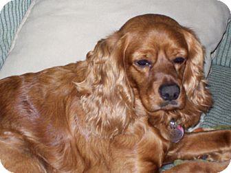 Cocker Spaniel Dog for adoption in Santa Barbara, California - Sebastian & Grumpy