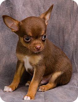 Chihuahua Puppy for adoption in Anna, Illinois - SASHA