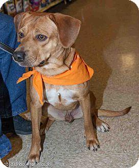 Vizsla Mix Dog for adoption in Loudonville, New York - Roger
