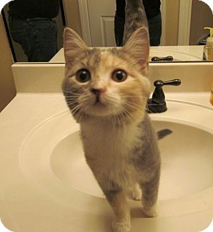 Domestic Shorthair Kitten for adoption in Chattanooga, Tennessee - Cowgirl