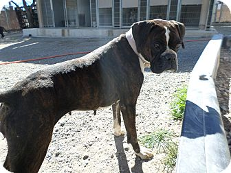 Boxer Dog for adoption in Edgewood, New Mexico - Harley Quinn