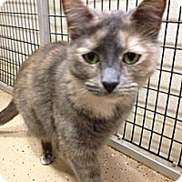 Domestic Shorthair Cat for adoption in Kerrville, Texas - Sandy