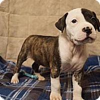 Adopt A Pet :: Apollo- Adoption Pending - Hilliard, OH