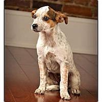Adopt A Pet :: Ziva - Owensboro, KY