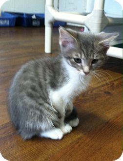 Domestic Shorthair Kitten for adoption in Greensburg, Pennsylvania - Fiorello