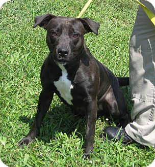 Labrador Retriever Mix Dog for adoption in Florence, Indiana - Bibble