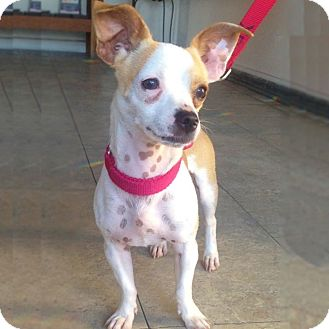 Jack Russell Terrier/Chihuahua Mix Dog for adoption in Redondo Beach, California - Oliver