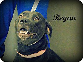 Labrador Retriever/Pit Bull Terrier Mix Dog for adoption in Defiance, Ohio - Regan