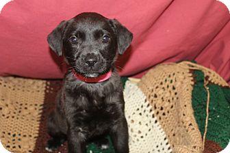 Labrador Retriever Mix Puppy for adoption in Waldorf, Maryland - Cupid