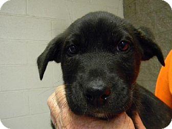 Labrador Retriever Mix Puppy for adoption in Tyner, North Carolina - Coal
