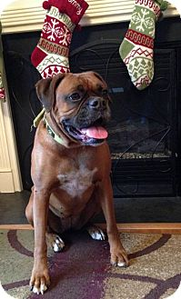 Boxer Dog for adoption in Winchester, Virginia - Belle