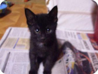 Domestic Shorthair Kitten for adoption in Lenexa, Kansas - Tinkerbelle