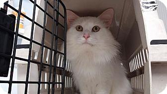 Domestic Mediumhair Kitten for adoption in Darlington, South Carolina - Kristoff