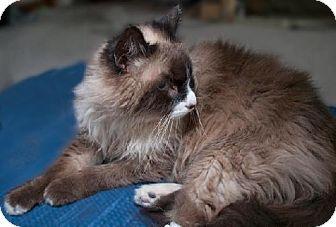 Ragdoll Cat for adoption in Oakland, California - Mr. Mittens