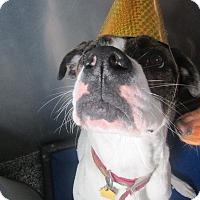 Adopt A Pet :: Bedazzling Bella - Issaquah, WA