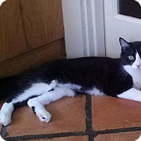 Domestic Shorthair Kitten for adoption in Pasadena, California - Emmie