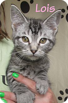 Domestic Shorthair Cat for adoption in Menomonie, Wisconsin - Lois