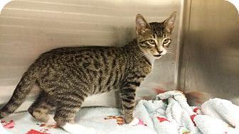Domestic Shorthair Kitten for adoption in Marietta, Georgia - Trigger
