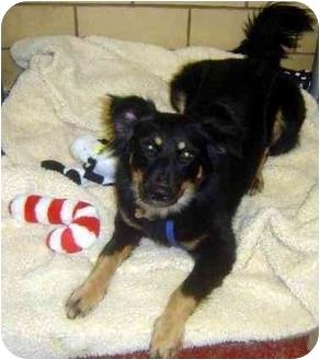 Collie/English Shepherd Mix Dog for adoption in Freeport, New York - Nellie