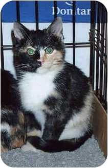 Domestic Mediumhair Kitten for adoption in Owatonna, Minnesota - Lucy