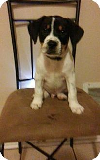 Hound (Unknown Type) Mix Puppy for adoption in Philadelphia, Pennsylvania - Copper