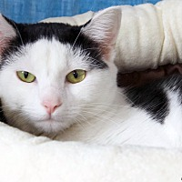 Domestic Shorthair Cat for adoption in St Louis, Missouri - Cheesecake