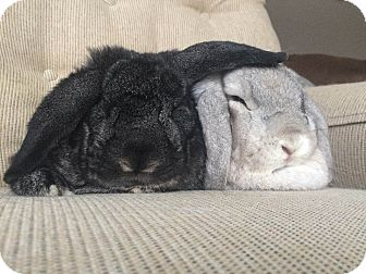 Lop, Holland Mix for adoption in Grand Rapids, Michigan - Mabel and Niko