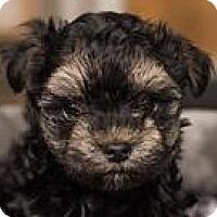Adopt A Pet :: Shandy - Minneapolis, MN