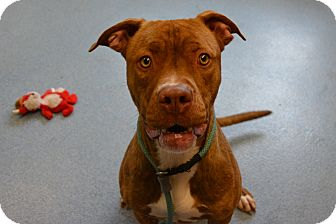 Boxer Mix Dog for adoption in Bay Shore, New York - Layla