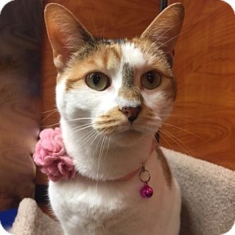 Calico Cat for adoption in Long Beach, New York - Coco