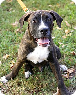 Boxer/Hound (Unknown Type) Mix Puppy for adoption in Mayflower, Arkansas - Toto
