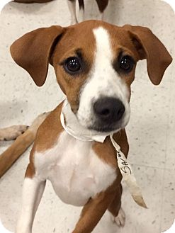 Boxer Mix Puppy for adoption in East Hartford, Connecticut - Sarge in CT