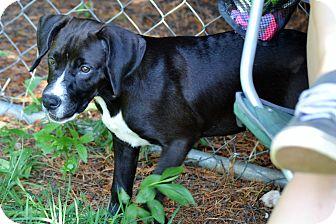 Labrador Retriever/Hound (Unknown Type) Mix Puppy for adoption in Albemarle, North Carolina - Michonne