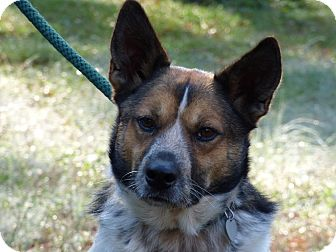 Australian Cattle Dog Mix Dog for adoption in Centerville, Tennessee - Bullet