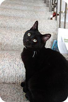 Domestic Shorthair Kitten for adoption in THORNHILL, Ontario - Joey Jeramiah