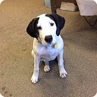 Adopt A Pet :: Ozzie - Sinking Spring, PA