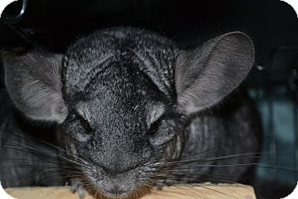 Chinchilla for adoption in Lindenhurst, New York - Fawn